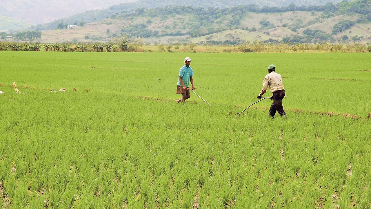 Los retos de la industria del arroz en República Dominicana