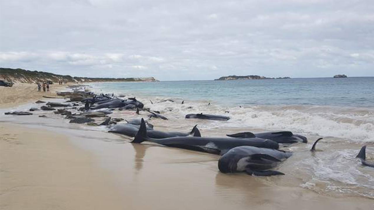 Mueren 145 ballenas varadas en costas de Nueva Zelanda