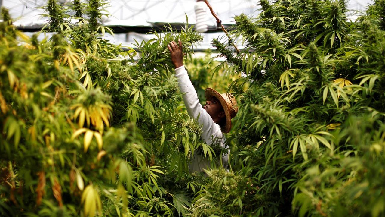 Industria de la mariguana, ¿motor económico tras pandemia en México?