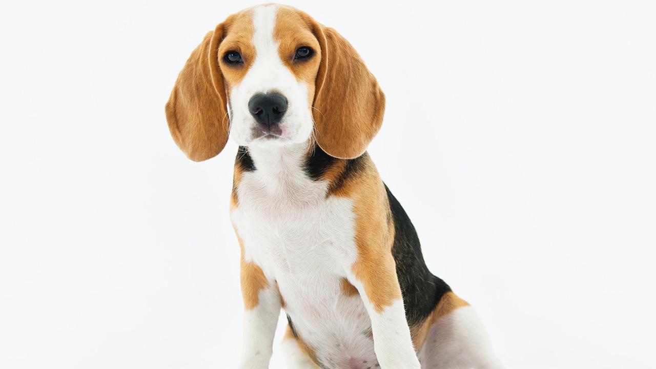 Primer servicio de clonación de mascotas en China duplica a famoso perro
