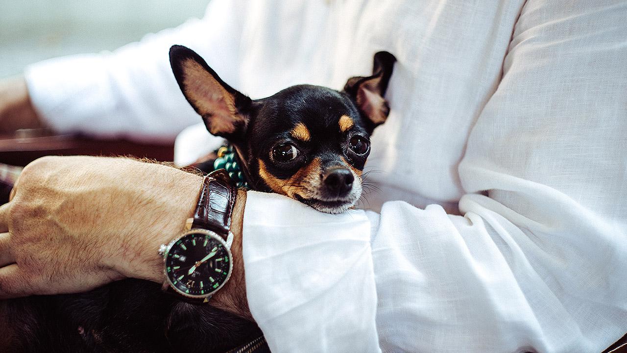 Mestizos, chihuahua y schnauzer, los perros favoritos de los mexicanos