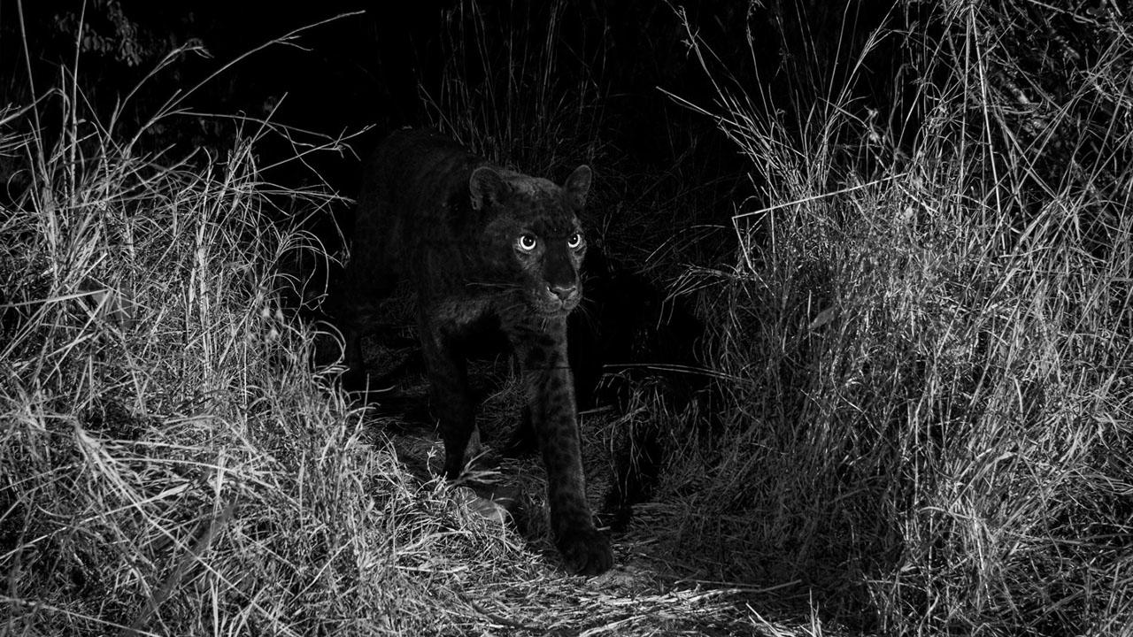 Confirman existencia de leopardo negro por primera vez en 100 años