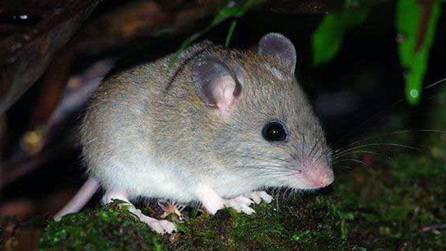 El extinto Melomys rubicola. Foto Reuters.