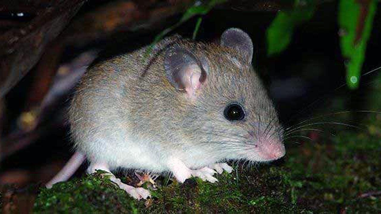Este es el primer mamífero que se extingue por el cambio climático