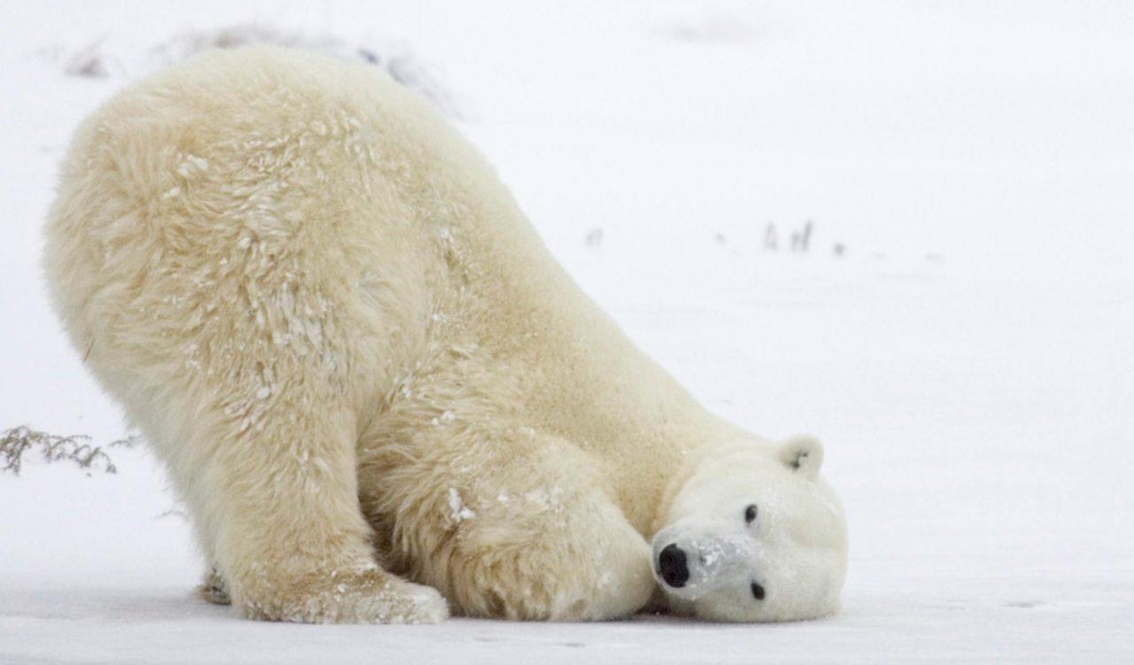 Estado de emergencia en el Ártico por 'invasión' de osos polares hambrientos