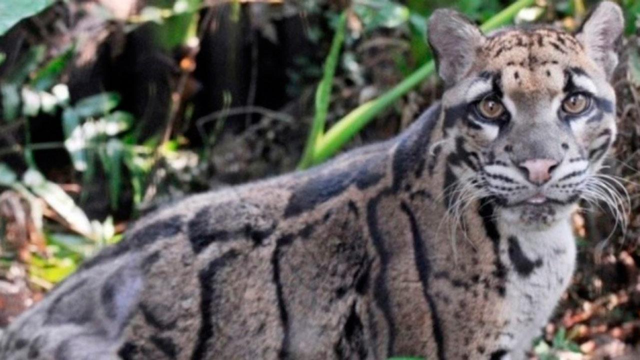 Leopardo nublado que se creía extinto es visto en bosques de Taiwan