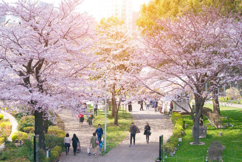 Japón se llena de cerezos en flor: ¡Es época de Hanami!