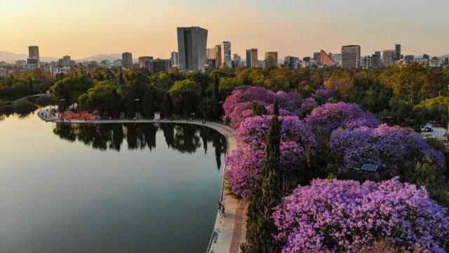 Jacarandas Ciudad de México
