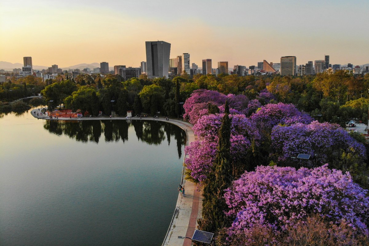 Disfruta la 'Ruta de las Jacarandas' en la Ciudad de México