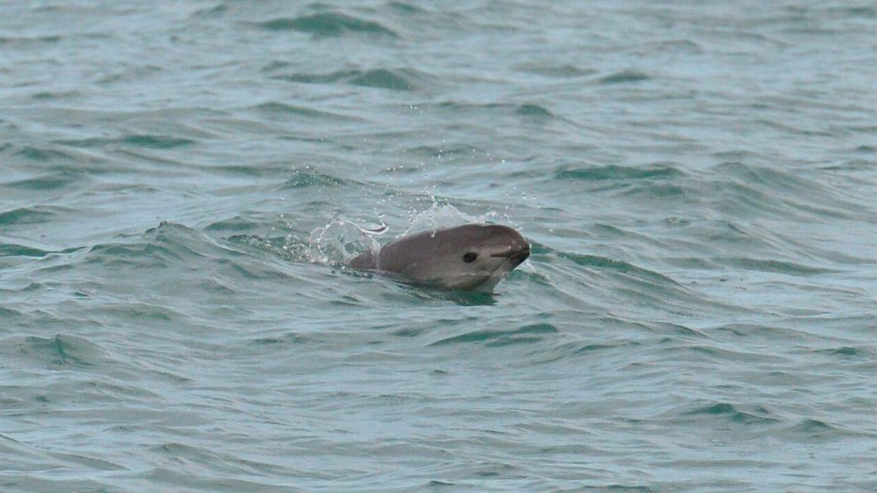 La vaquita marina está a un paso de la extinción, advierte Semarnat