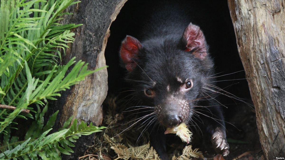 Demonios de Tasmania podrían extinguirse por extraño cáncer
