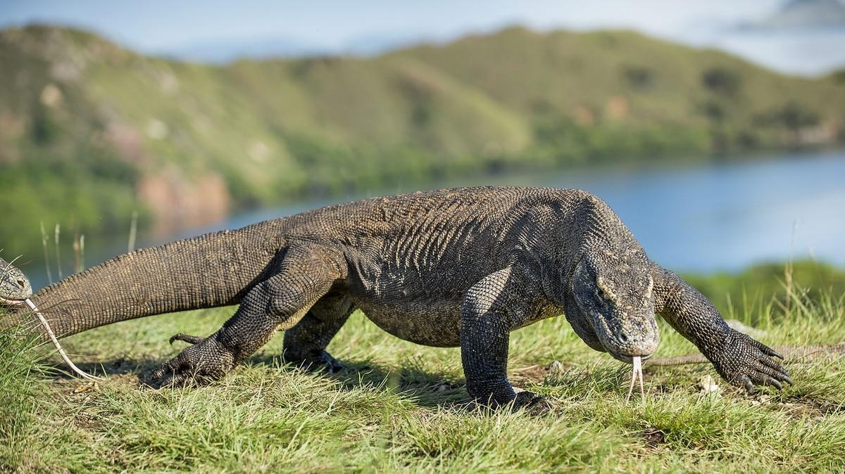 Isla de Komodo fuera de los límites para el turismo indonesio en 2020: gobierno