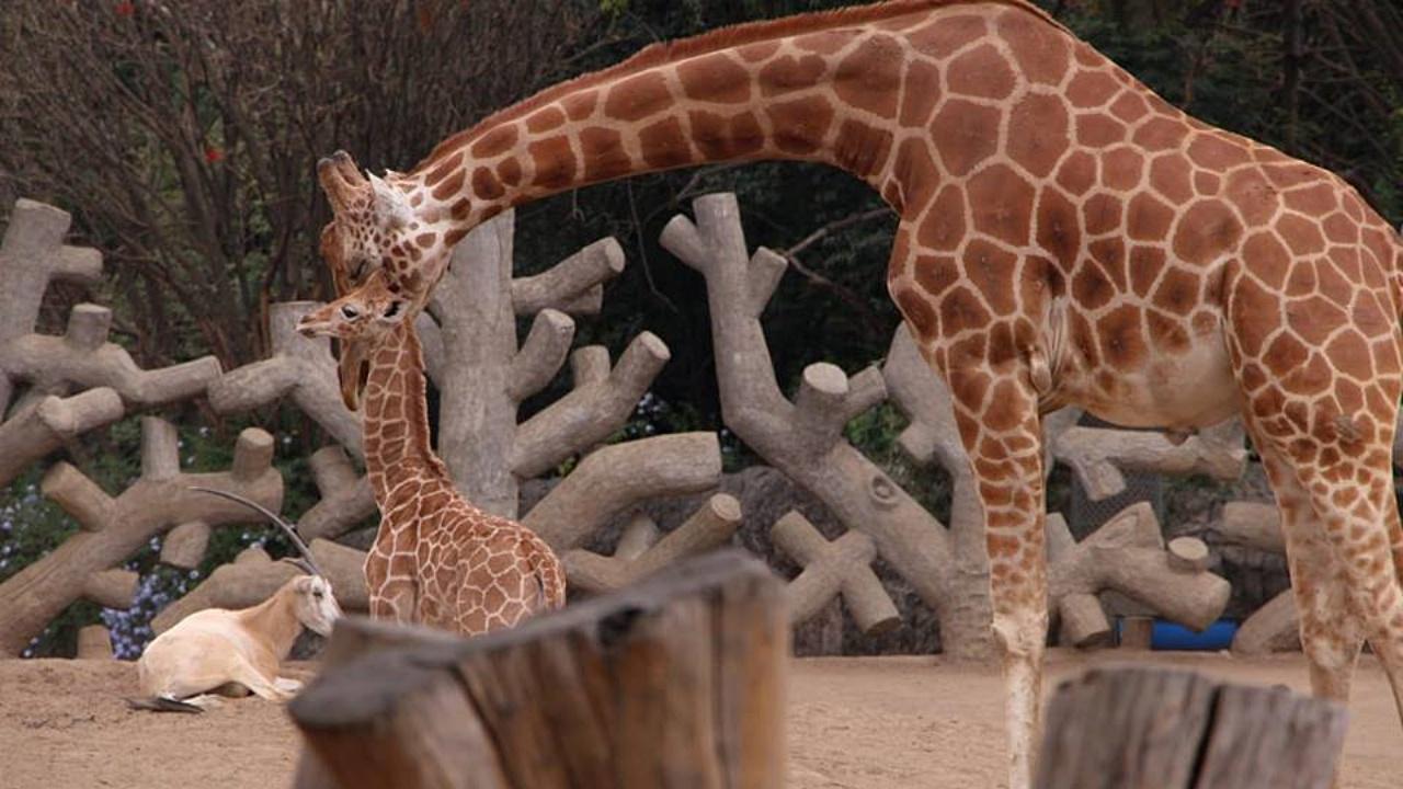 Es oficial: la jirafa bebé de Chapultepec se llamará Jira-fifí-ta