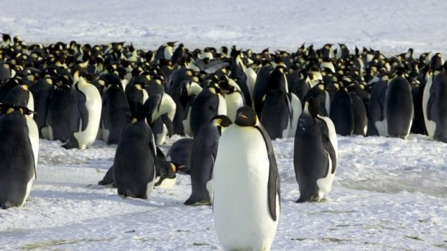Pingüinos emperador. Foto Reuters.