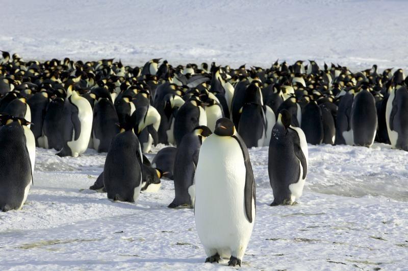 Investigadores hallan fósil de pingüino de metro y medio de alto y casi 70 kilos