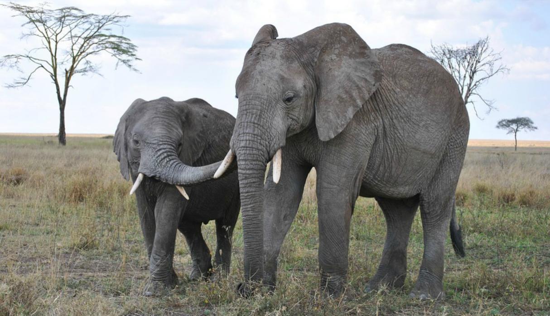 Botswuana habilita la caza de elefantes ignorando el conservacionismo
