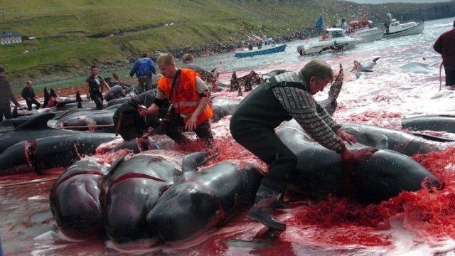 caza ballenas islas feroe