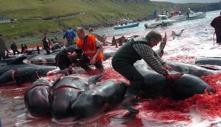 Suma rechazo la temporada de caza de ballenas y delfines en Islas Feroe