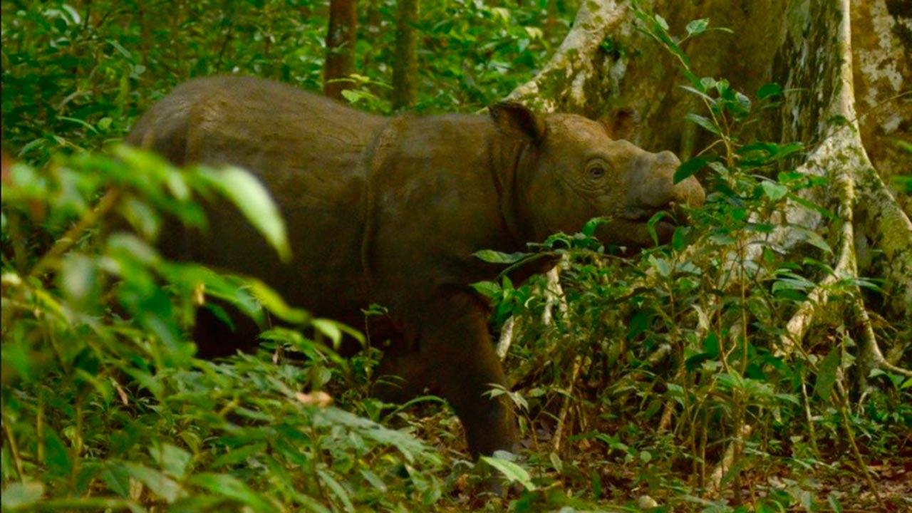 Fallece katam, el último rinoceronte macho en Sumatra