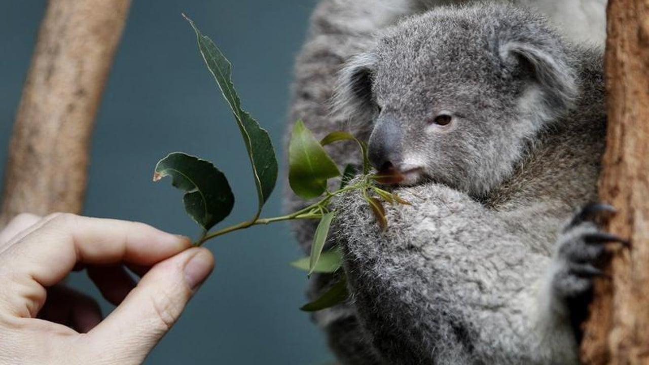 El koala está funcionalmente extinto: ONG