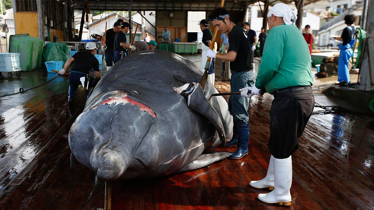 Japón reanudará caza comercial de ballenas en julio pese a condena mundial