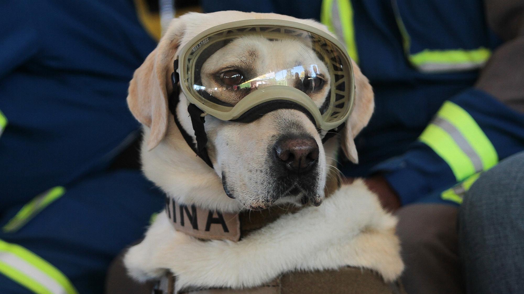 'Frida', la perrita símbolo del 19-S, se jubila de la Marina