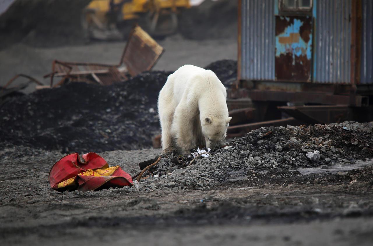 Rescatan a osa polar que vagaba en calles rusas; recibirá tratamiento