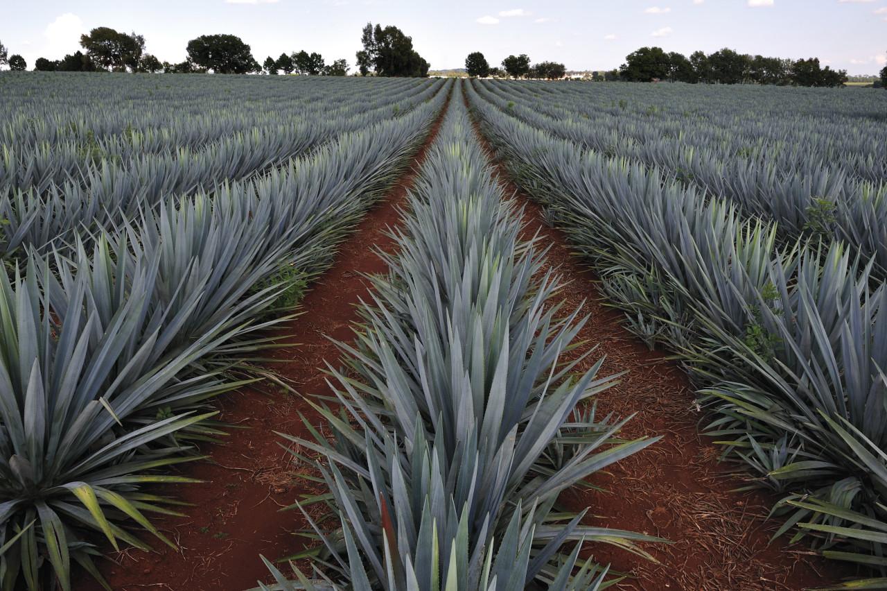 Tequila y mezcal, segundo mercado de bebidas alcohólicas más importante del país