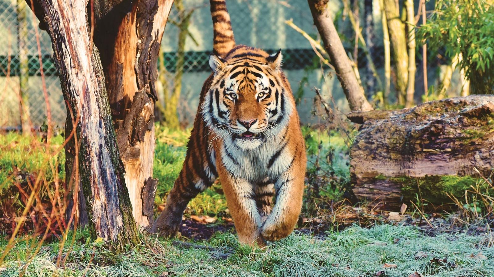 Histórico: la población de tigres de la India aumenta a casi 3,000 ejemplares