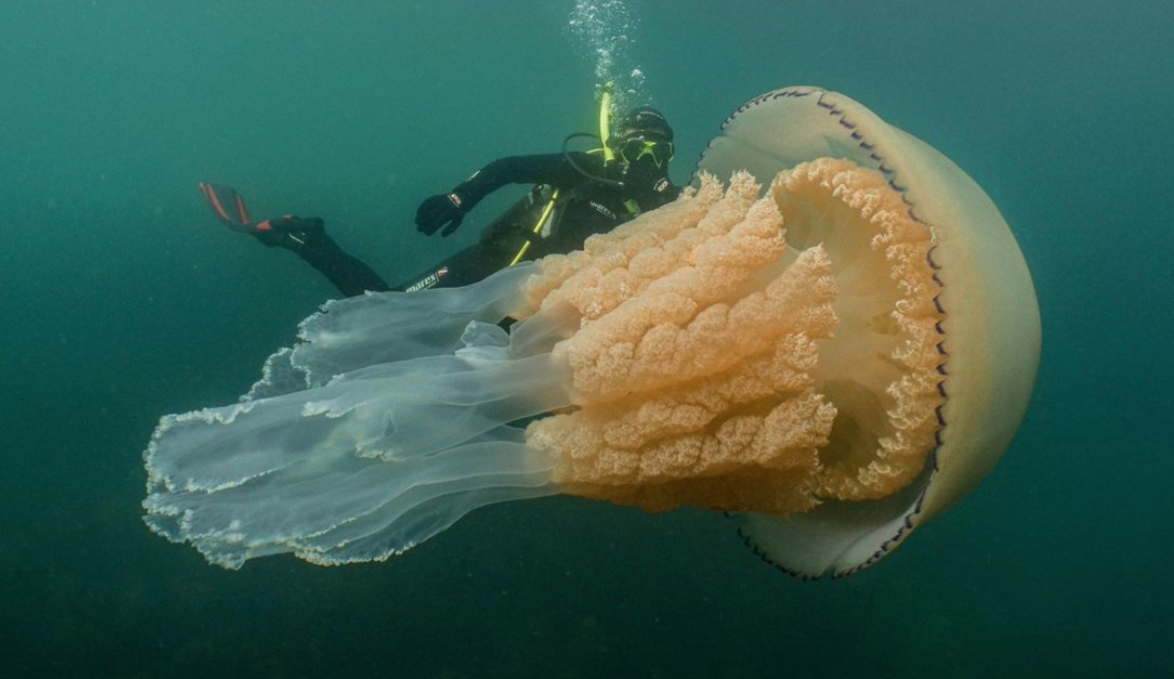 Captan medusa de tamaño humano y afirman es la más grande vista al momento