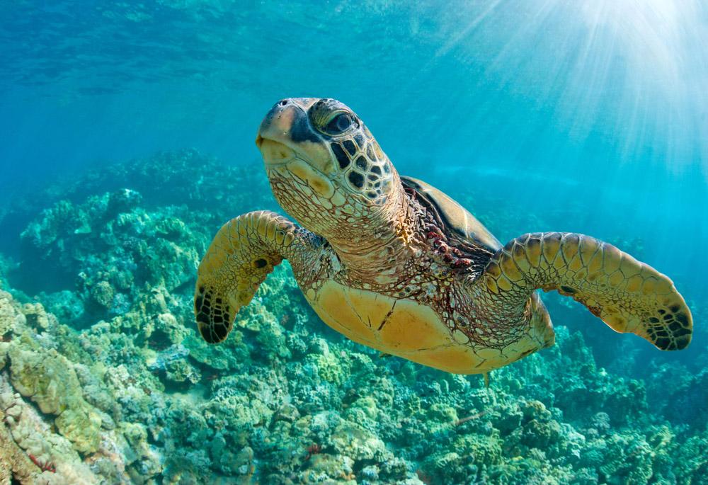 Estudio ratifica que tortugas marinas confunden alimento con desechos plásticos
