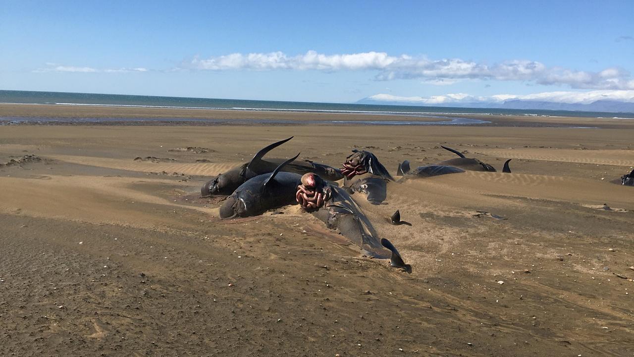 Descubren 50 ballenas muertas en playa de Islandia