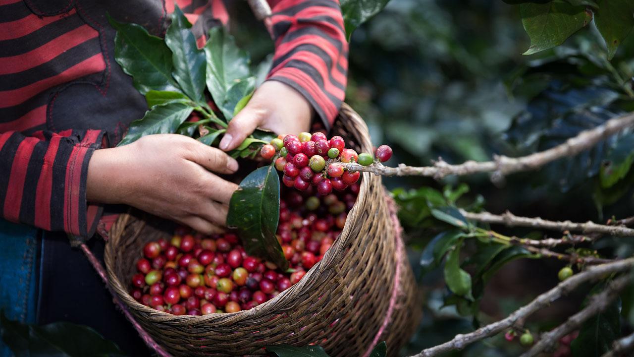 ¿Por qué ha disminuido la producción de café en México?