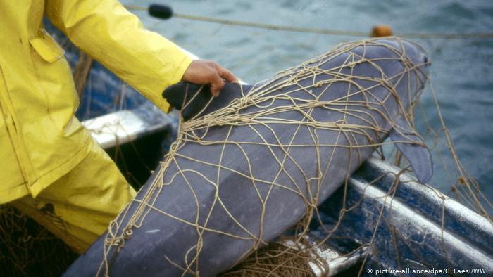 Disminuye la esperanza de salvar a la vaquita marina de la extinción
