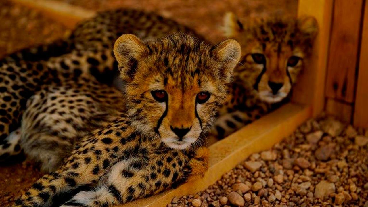 Población de guepardos en Somalia podría desaparecer por contrabando