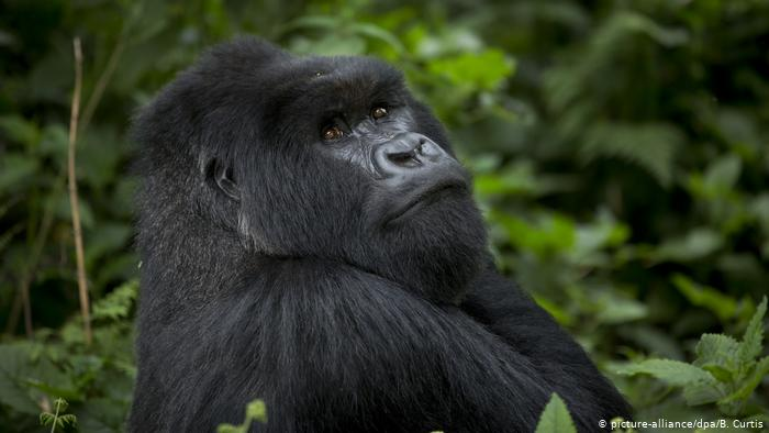 Protegiendo con café a los gorilas de montaña de Uganda amenazados