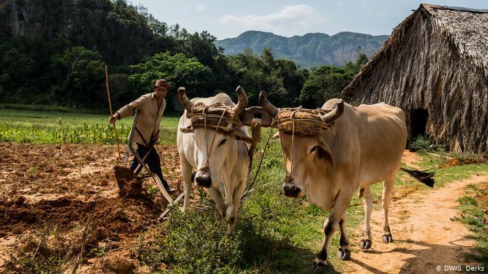 Ni los bueyes se salvan de la crisis en Cuba: regresan a trabajar en agricultura