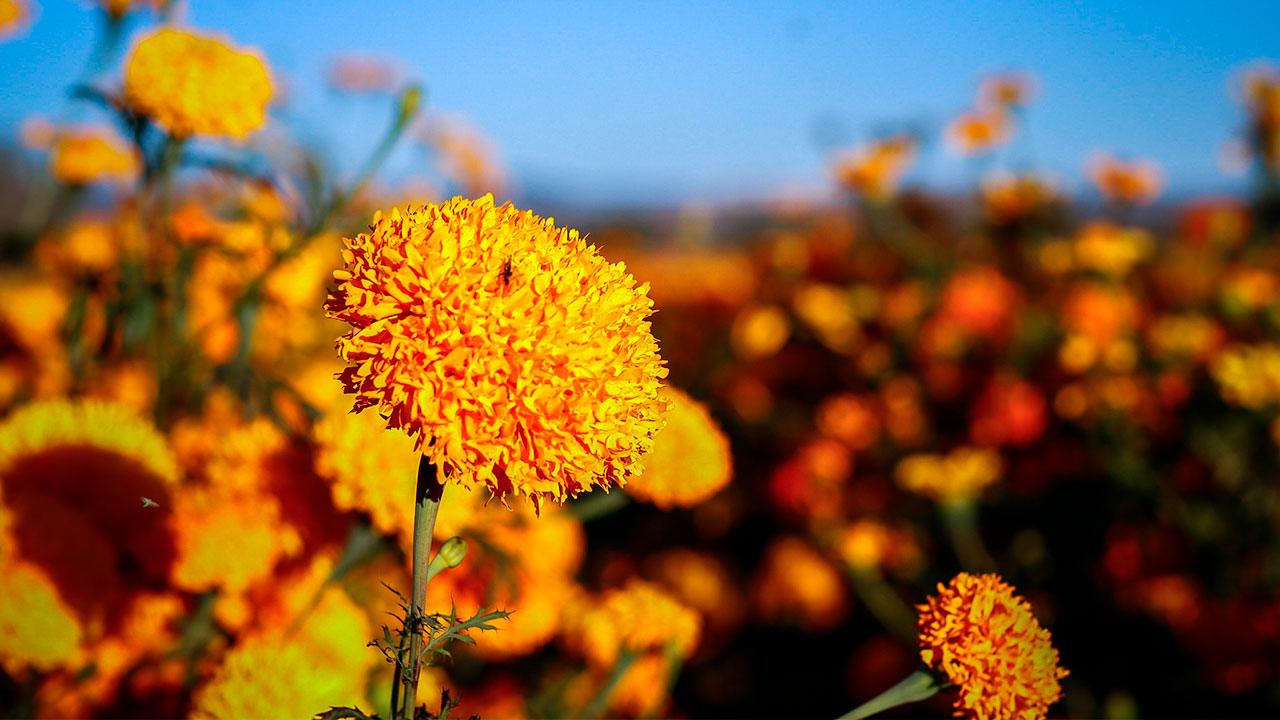Por causa de la genética, la flor de cempasúchil ya no es tan mexicana