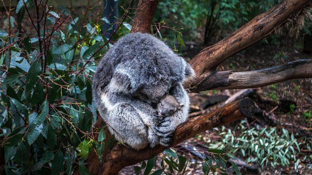 koalas australia habitat