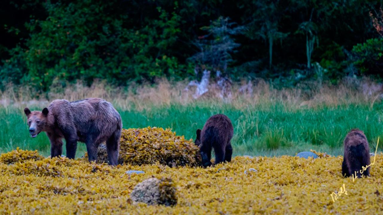 Retratan a familia de osos grizzly muriendo de hambre en Canadá