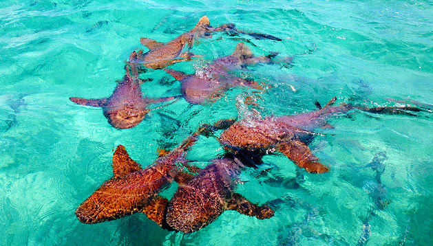 tiburones Belice