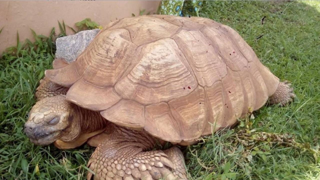 Fallece Alagba a los 344 años, la tortuga más vieja de África