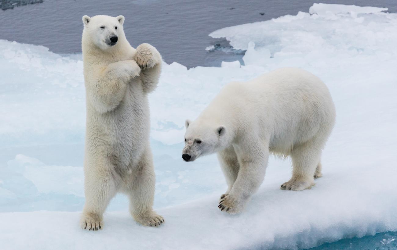 Calentamiento global está aumentando el canibalismo entre osos polares
