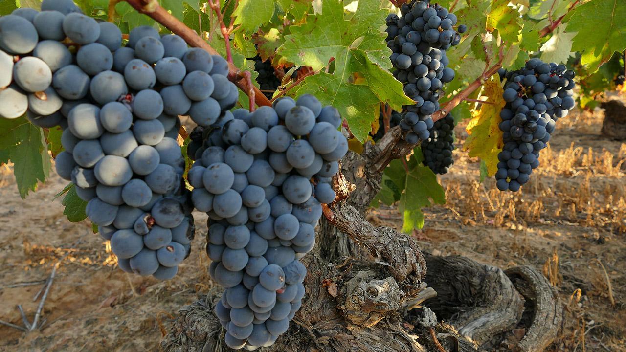 El arte de la producción artesanal de los vinos de la D.O. Ribera del Duero