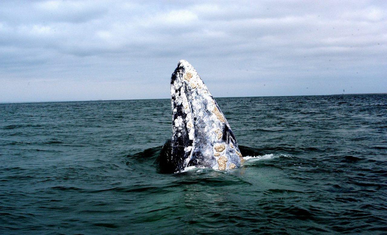 Inicia la temporada de avistamiento de ballena gris en Ensenada