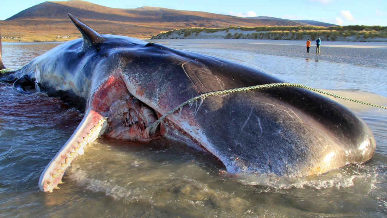 Hallan ballena muerta con más de 100 kilos de basura en su interior