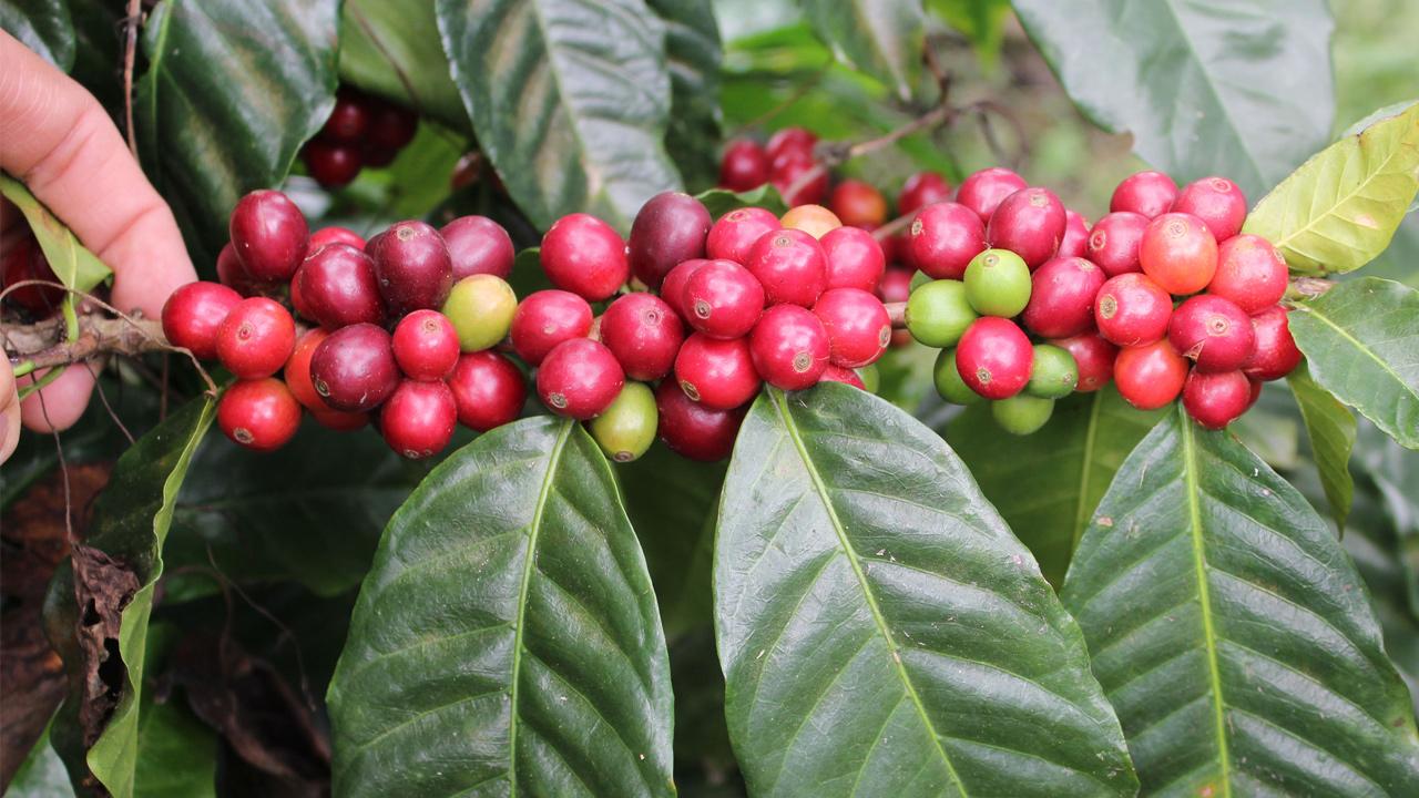 Granos de café escupidos por murciélagos son un éxito entre consumidores de Madagascar
