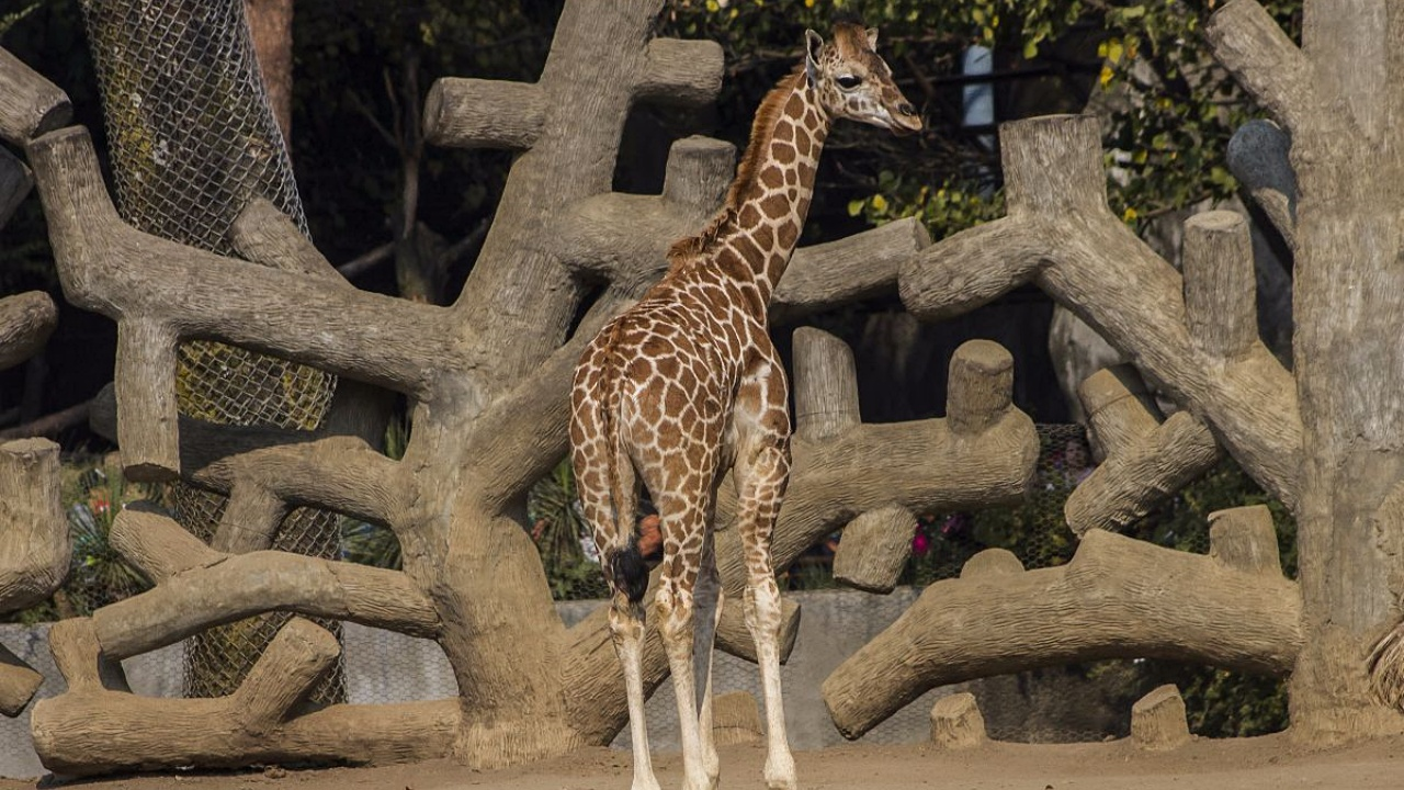 Zoológico de Chapultepec presenta a Sicarú, la nueva jirafa bebé