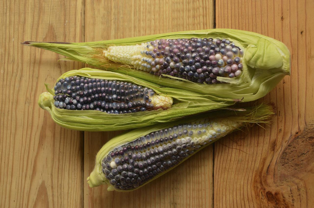Cultivo del maíz en México, en riesgo por el cambio climático