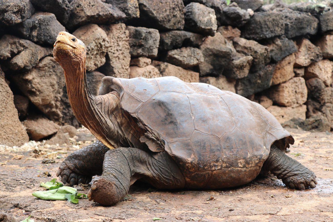 Tortuga semental de las Galápagos 'salva' a su especie de la extinción